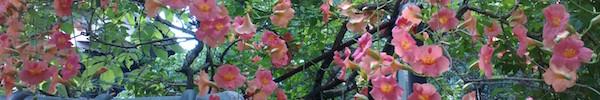 pinkhana
